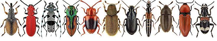 Die Käferfauna Südwestdeutschlands Die Käfer Fauna